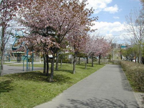 公園のエゾヤマザクラ